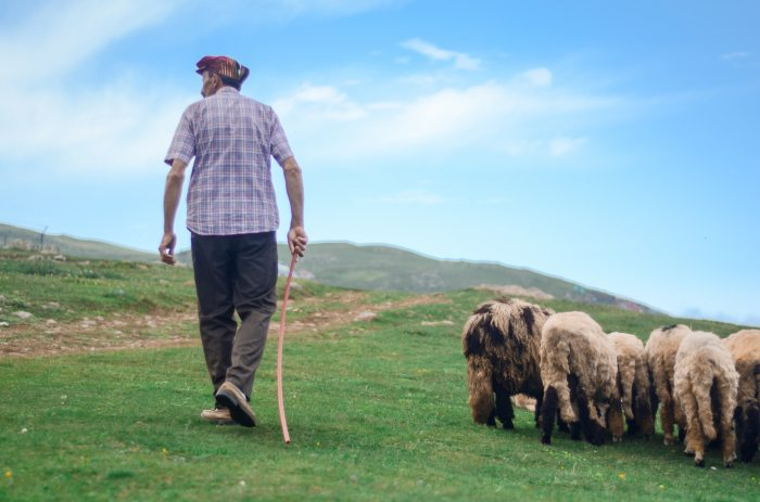 back-view-photo-of-shepherd-walking-his-flock-of-sheep-in-2452308